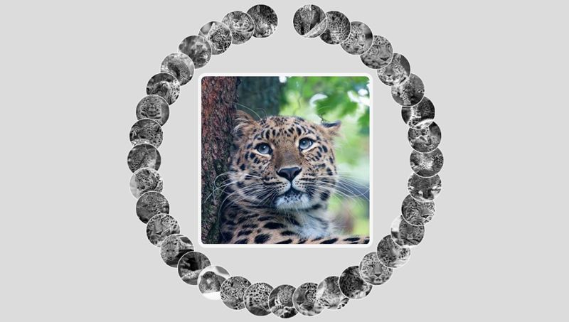 Demo Image: Amur Leopard Image Gallery With CSS Vars